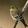 Lesser Goldfinch, Davis Mtns SP, 02/04/2017