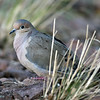 Mourning Dove, Davis Mtns SP.02/15/2007.