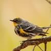 Audubon's Yellow-Rumped Warbler, Davis Mtns SP, 02/13/2017