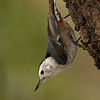White-breasted Nuthatch, Davis Mtns SP. 02/14/2007.