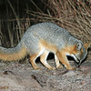 Night time visitor - Gray Fox (I think), Davis Mtns SP. 02/14/2007.