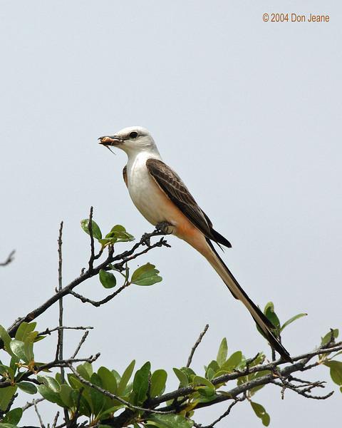 Near Balmorhea - Scissor-tailed Flycatcher, 05/24/2004.