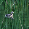 Balmorhea St Park - Pied-billed Grebe, 5/25/2004.