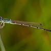 Desert Forktail (Ischnura barberi)