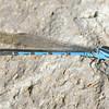Springwater Dancer (Argia plana)