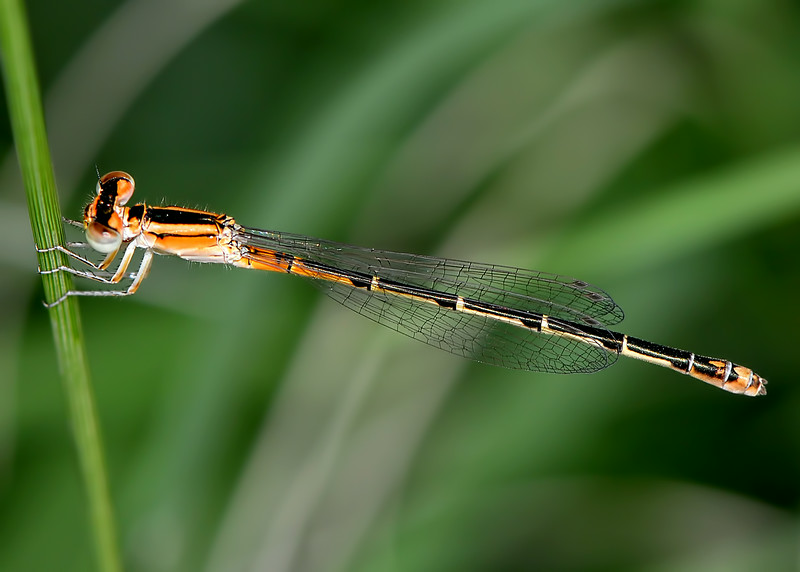 Mexican Forktail (Ischnura demorsa)