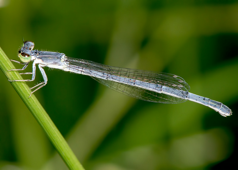Mexican Forktail (female) (Ischnura demorsa)