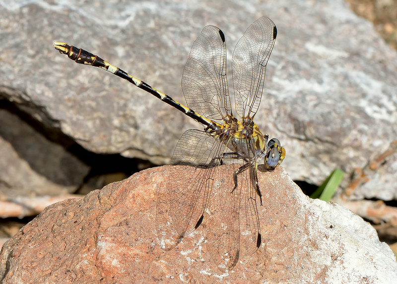 Gray Sanddragon (Progomphus borealis)