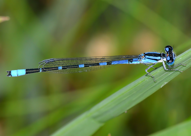 Arroyo Bluet (Enallagma praevarum)