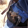 baby desert horned lizard (compare to size of zipper)