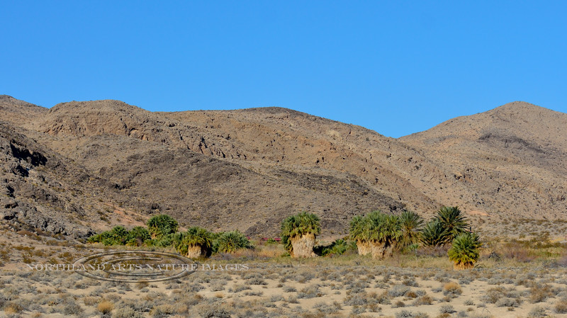 NV-2018.12.12#005.2. Desert Palms surrounding Roger's Thermal Spring. These have since been removed by the Park service. North Shore Road, Lake Mead Nevada.