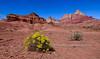 AZ-VC-2019.10.16#1908.3. Eriogonum, Buckwheat in the foreground of the Vermillion Cliffs, Arizona.