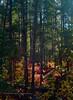 AZ-2019.10.25#170.3. Autumn colors of Ponderosa Pine, Gambel Oak, Bigtooth Maple and Douglas Fir. Oak Creek Canyon, Arizona.