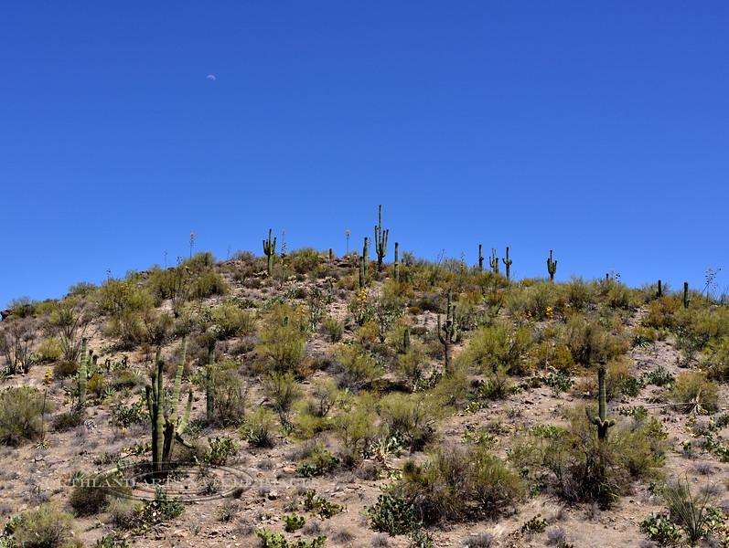 AZ-AT2018.6.19#098. Cactus garden covering a hilltop. Summit area, Apache Trail. Arizona.