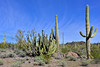 AZ-OPCNM2019.3.5#087. Organ Pipe Cactus. Organ Pipe Cactus  Monument, Arizona.