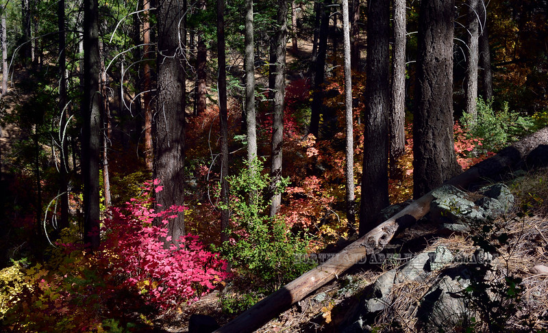 AZ-2019.10.25#220.3. Autumn colors of Bigtooth Maple, Fremont Barberry and Gambel Oak forming the understory in a grove of Douglas Fir. Oak Creek Canyon Arizona.
