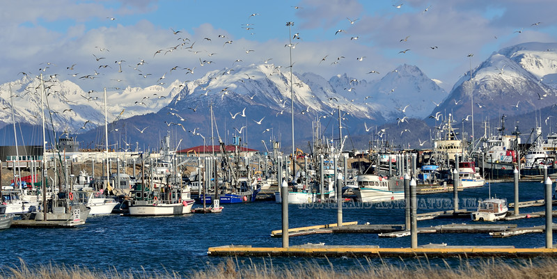 AK-2015.3.8#104. A fly-up of Glaucous-winged Gulls after an eagle scare. Homer Small Boat Harbor, Alaska.