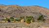 NV-2018.12.12#006.2. Desert Palms around Roger's Thermal Spring. North Shore Road, Lake Mead Nevada.