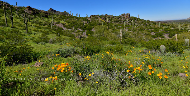 AZ-PPSP2019.3.14#018. A Desertscape of Mexican Poppys and Saguaro's. Picacho Peak Stae Park, Arizona.
