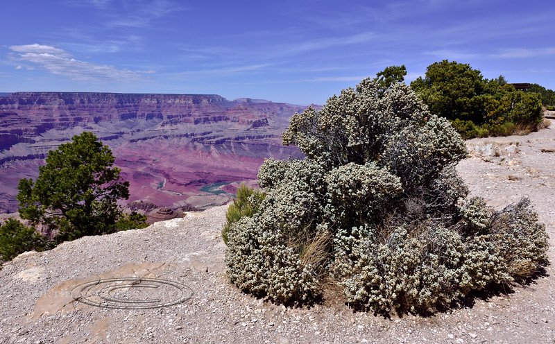 AZ-GCNP2018.4.26#079.4. A large Buffalo Berry bush on the south rim of the Grand Canyon looking across to the Kaibab Plateau on the north rim. Arizona.