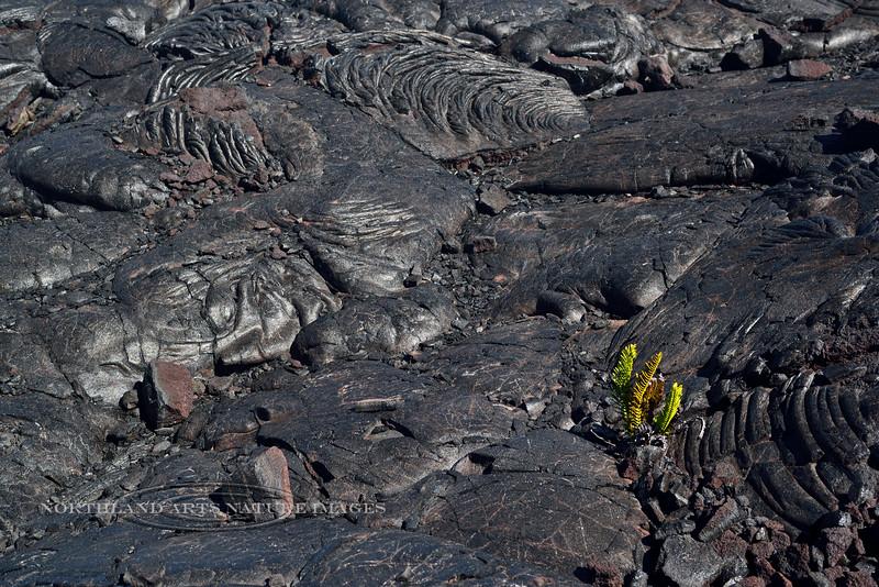 HI- 2015.2.2#106. Polypodium pellucidum var.volcanicum. One of the early pioneers on new lava. Mauna Loa, Hawai'i.