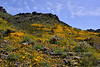 AZ-2020.3.29#9126.3. Mexican Gold Poppy's blanket a hillside along Old Route 66 near Oatman Arizona.
