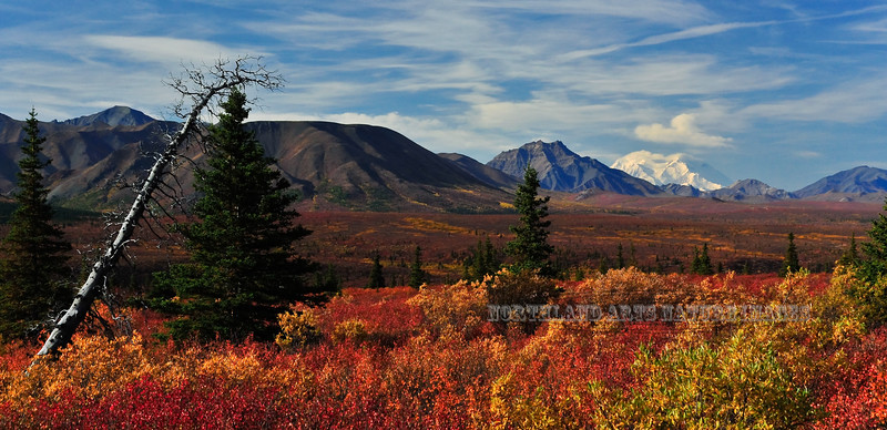 "AK-DNP-2009.9.4#166. A spectacular fall view of 'Denali"" from the Savage River Country on the north side of the Alaska Range. Denali Nat. Park Alaska."