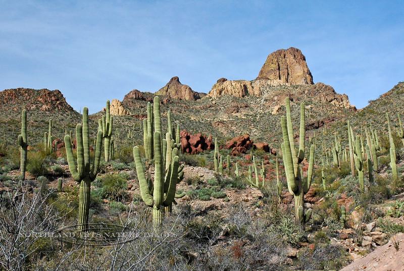AZ-AT2007.3.4-Carnegiea gigantea, Saguaro Cactus. Apache Trail, Arizona. #0041.