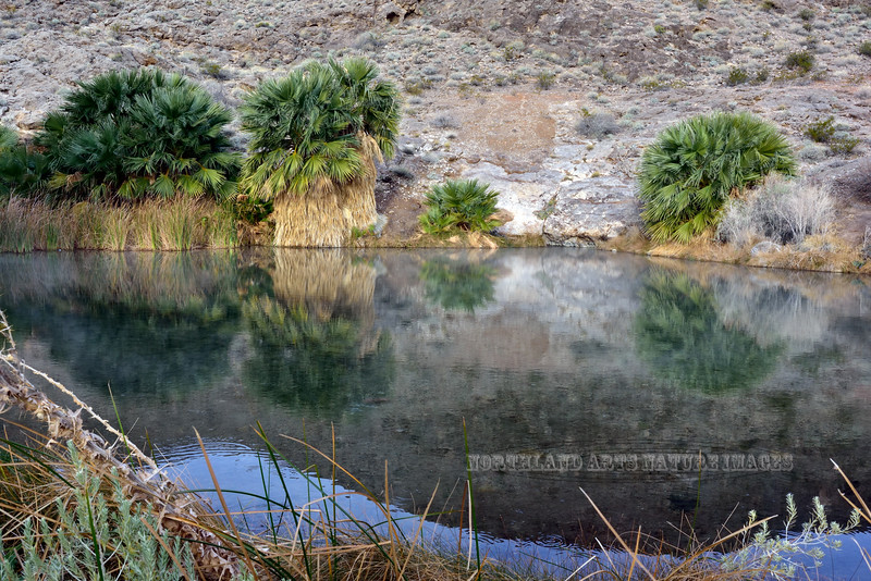 NV-2019.1.19#2359.2. Roger's Thermal Spring surrounded by Desert Palms that have now been removed by the Park service. North Shore of Lake Mead Nevada.