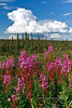 AK-2006.7.12#0015. Fireweed in front of  towering Cumulus that will probably end this nice hot sunny day with thunder storms in the Nelchina Basin. Alaska.