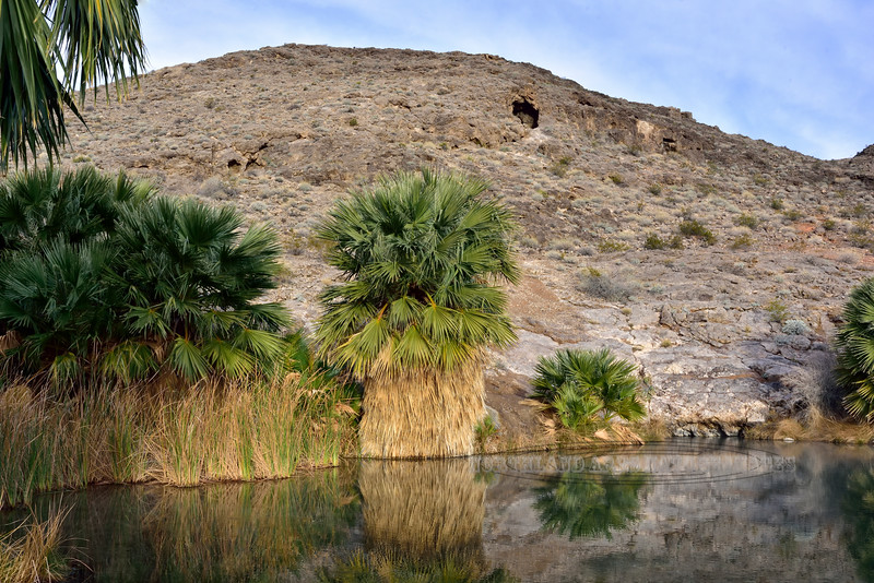 NV-2019.1.19#2366.2. Desert Palms around Roger's Thermal Spring. North Shore Road, Lake Mead Nevada.