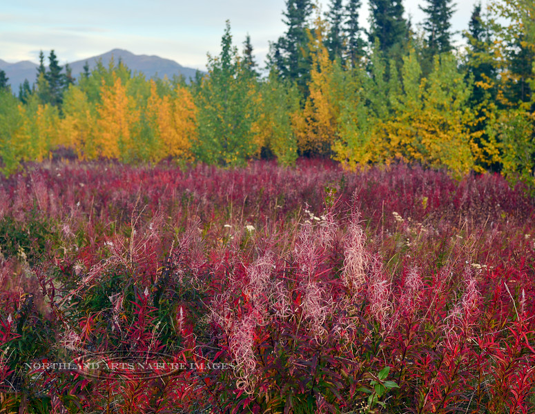 CANYK-Tall Fireweed 2017.9.4#059.3. Near Burwash Landing, Yukon Territory Canada.