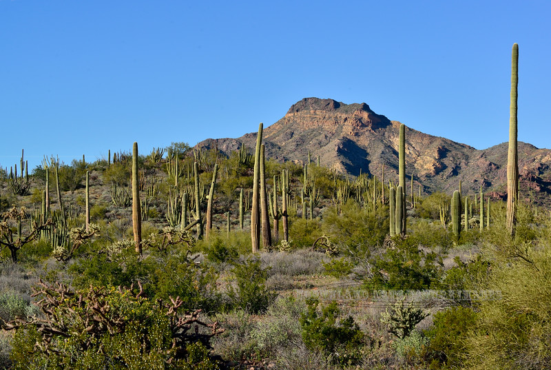 AZ-OPCNM2019.3.5#011. Ajo Mountain scene with Organ Pipe and Saguaro's. Organ Pipe Cactus Monument, Arizona.