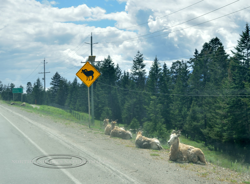 CANBC-2017.5.18#425.2. What are the chances? I've driven past here a half dozen times and never seen any sheep here. Radium, British Columbia Canada.