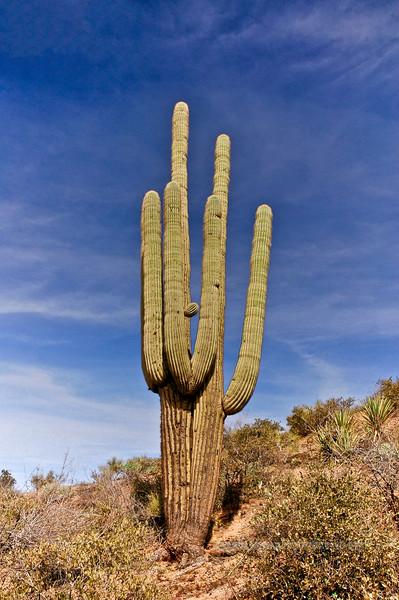 AZ-AT2007.3.4#0035. Saguaro Cactus. Apache Trail, Arizona.