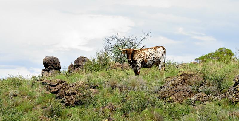 AZ-LS2017.7.27-Longhorn, Cow. Out on the range. Arizona. #613.