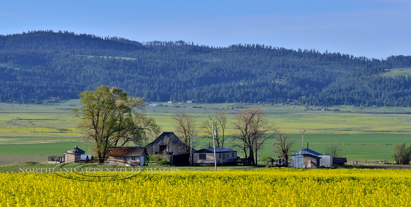 ID-2015.5.15-Farm with Rapeseed flower in the foreground. Camas Prairie, near Grangeville, Idaho. #064.