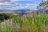 ID-2018.7.1#5371.3. Large patches of Penstemon are blooming high along the White Bird grade looking towards Riggins in the Salmon River country Idaho.