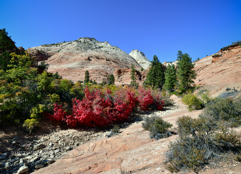 UT-2019.10.14#1618.2. A group of Bigtooth Maples in bright fall color. Zion Park Utah.