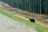 CANBC2017.5.16#206.2. A Black Bear is grazing on fresh spring grass along the Alaska Highway. This is a common sight on every highway in Western Canada in the spring. I'm heading towards Fort St John here. British Colombia Canada.