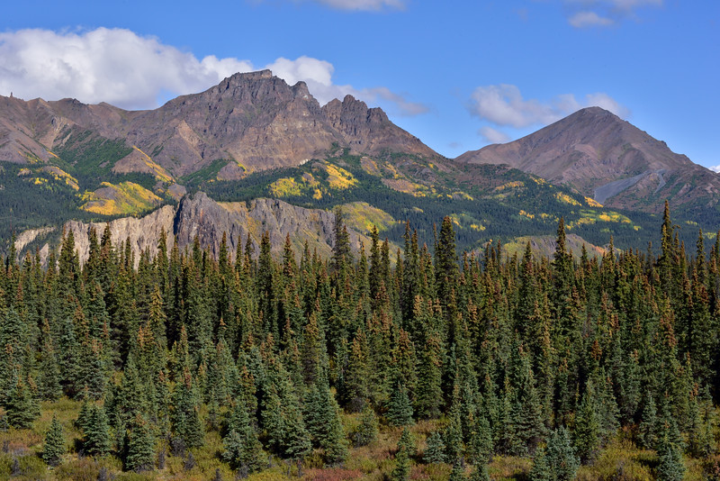 AK-2016.8.28#095.2. Just before the peak of fall color in the central Alaska range. A stand of white spruce back dropped by the bluffs along the Nenana river in front of Alaska Range mountains just south of Denali Park Alaska.