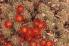 Cactus Flowers- Moab, Utah