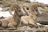 Rams on Trail Ridge Road, Rocky Mountain National Park, CO