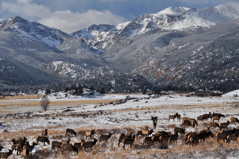 Elk in the Park  15494