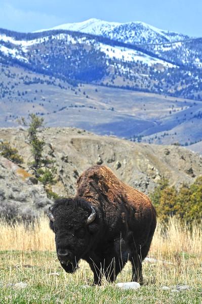 YNP Bison