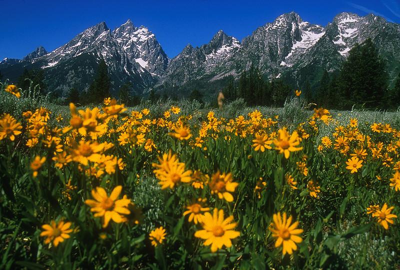 Tetons & Wildflowers  245