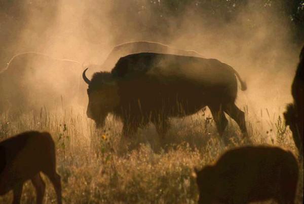 Wildlife Bison In Dust