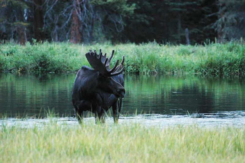 Wildlife Biggest Bull
