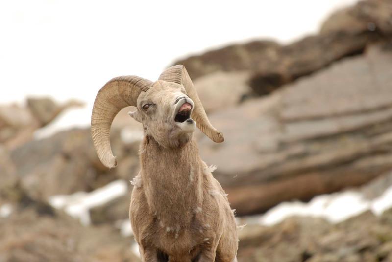 Laughing Ram