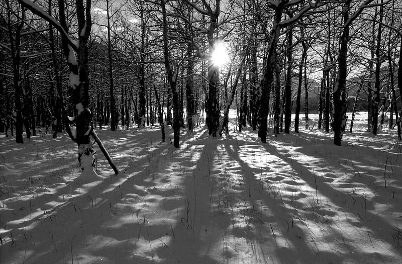 Morain Park Winter Aspens  031